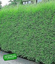 BALDUR-Garten Leyland-Zypressen-Hecke, 5 Pflanzen