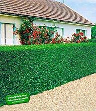 BALDUR-Garten Liguster-Hecke, 3 Pflanzen Ligustrum vulgare 'Atrovirens'