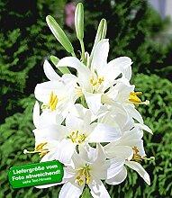 BALDUR-Garten Madonnenlilie 6 Zwiebeln Lilium