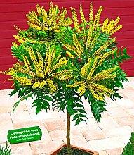 BALDUR-Garten Mahonien-Stämmchen, 1 Pflanze Mahonia