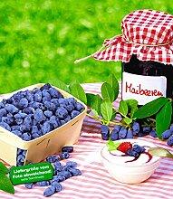 BALDUR-Garten Maibeeren® 'Maitop® & Amur®', 2 Pflanzen, Lonicera kamtschatica Beerenobst Honigbeere Sibirische Blaubeere