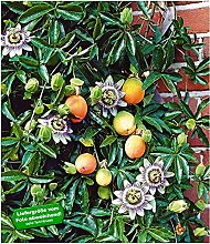 BALDUR-Garten Maracuja-Pflanze 3 Pflanzen