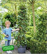 BALDUR-Garten Maulbeere BonBon Berry®,1 Pflanze