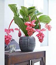 BALDUR-Garten Medinilla 'Bel Air',1 Pflanze