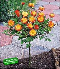 BALDUR-Garten Mini-Stammrose Orange 1 Pflanze
