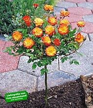 BALDUR-Garten Mini-Stammrose Orange,1 Pflanze