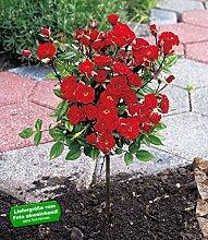 BALDUR-Garten Mini-Stammrose Rot,1 Pflanze