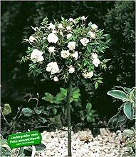 BALDUR-Garten Mini-Stammrose Weiß, 1 Pflanze