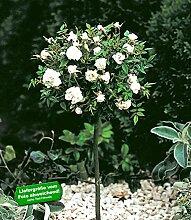 BALDUR-Garten Mini-Stammrose Weiß,1 Pflanze