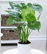 BALDUR-Garten Monstera, 1 Pflanze Fensterblatt