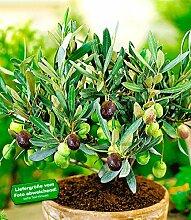 BALDUR-Garten Olive,1 Pflanze Olea europaea Olivenbaum