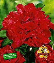BALDUR-Garten Päonien 'Karl Rosenfield' Pfingstrosen, 1 Knolle, Paeonia Hybrid