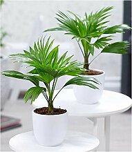 BALDUR-Garten Palmen Duo, 2 Pflanzen Livistona