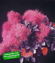 BALDUR-Garten Perückenstrauch-Stämmchen Cotinus Zierstämmchen,1 Pflanze