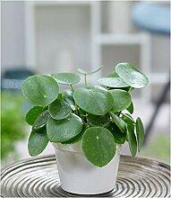 BALDUR-Garten Pfannkuchenpflanze, 1 Pflanze