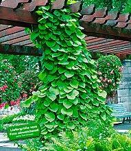 BALDUR-Garten Pfeifenwinde 1 Pflanze Aristolchia macrophylla Kletterpflanze