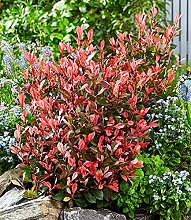 BALDUR-Garten Photinia 'Little Fenna®',1