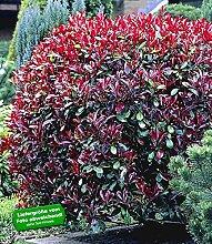 BALDUR Garten Photinia-Hecke 'Red Robin',
