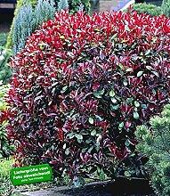 BALDUR-Garten Photinia-Hecke 'Red Robin',