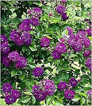 BALDUR Garten Rambler-Rosen 'Bleu