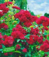 BALDUR-Garten Rambler-Rosen 'Chevy Chase', 1 Pflanze