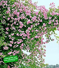 BALDUR-Garten Rambler-Rosen 'Paul's Himalayan Musk Rambler', 1 Pflanze