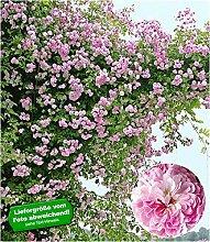 BALDUR Garten Rambler-Rosen 'Paul's