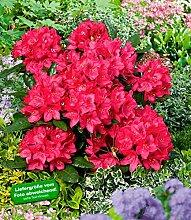 BALDUR-Garten Rhododendron rot Alpenrose, 1 Pflanze