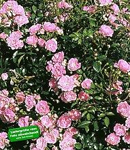 BALDUR-Garten Rosen 'The Fairy', 1 Pflanze