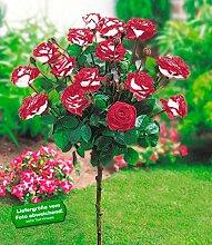 BALDUR-Garten Rosen-Stämmchen 'Osiria®', 1 Stammrose