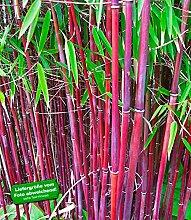 BALDUR-Garten Roter Bambus 'Chinese Wonder', 1 Pflanze