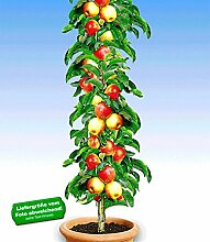 BALDUR-Garten Säulen-Apfel 'Braeburn', 1 Pflanze