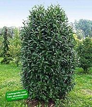 BALDUR Garten Säulen-Kirschlorbeer Genolia®, 10