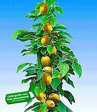 BALDUR-Garten Säulen-Kiwi 'Issai', 1 Pflanze