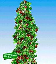 BALDUR-Garten Säulen-Tayberry 'Buckingham', 1 Pflanze