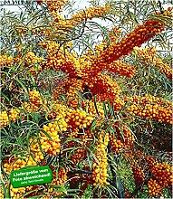 BALDUR Garten Sanddorn Busch 'Orange