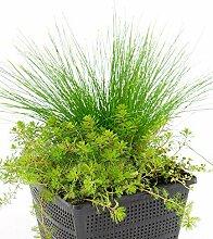 BALDUR-Garten Sauerstoff-Teichpflanzen im Korb, 1