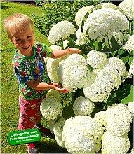 BALDUR Garten Schneeball-Hortensie Cloudi;1