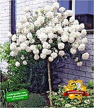 BALDUR Garten Schneeball-Stämmchen, 1 Pflanze