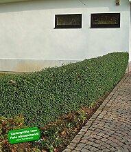 BALDUR-Garten Schwarzgrüner Liguster