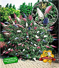 BALDUR-Garten Sommerflieder 'Papillion