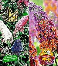 BALDUR-Garten Sommerflieder-Sortiment Buddleia