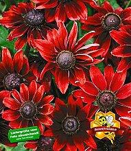 BALDUR-Garten Sonnenhut Rudbeckia 'Cherry