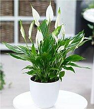 BALDUR-Garten Spathiphyllum, 1 Pflanze