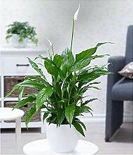 BALDUR Garten Spathiphyllum im 60 cm hoch, 1