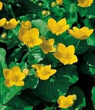BALDUR-Garten Sumpfdotterblume, 3 Pflanzen Caltha
