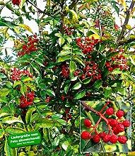 BALDUR-Garten Szechuan-Pfeffer, 1 Pflanze
