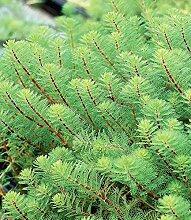 BALDUR-Garten Tausendblatt,3 Pflanzen Myriophyllum