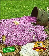 BALDUR-Garten Teppichphlox 'Emerald Pink',