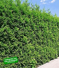 BALDUR Garten Thuja Lebensbaum Brabant, 1 Pflanze